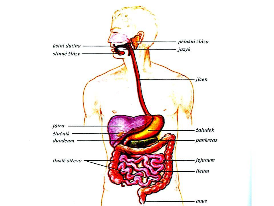 Trávení a metabolismus sacharidů Trávení je založeno na hydrolytickém štěpení glykosidové vazby.