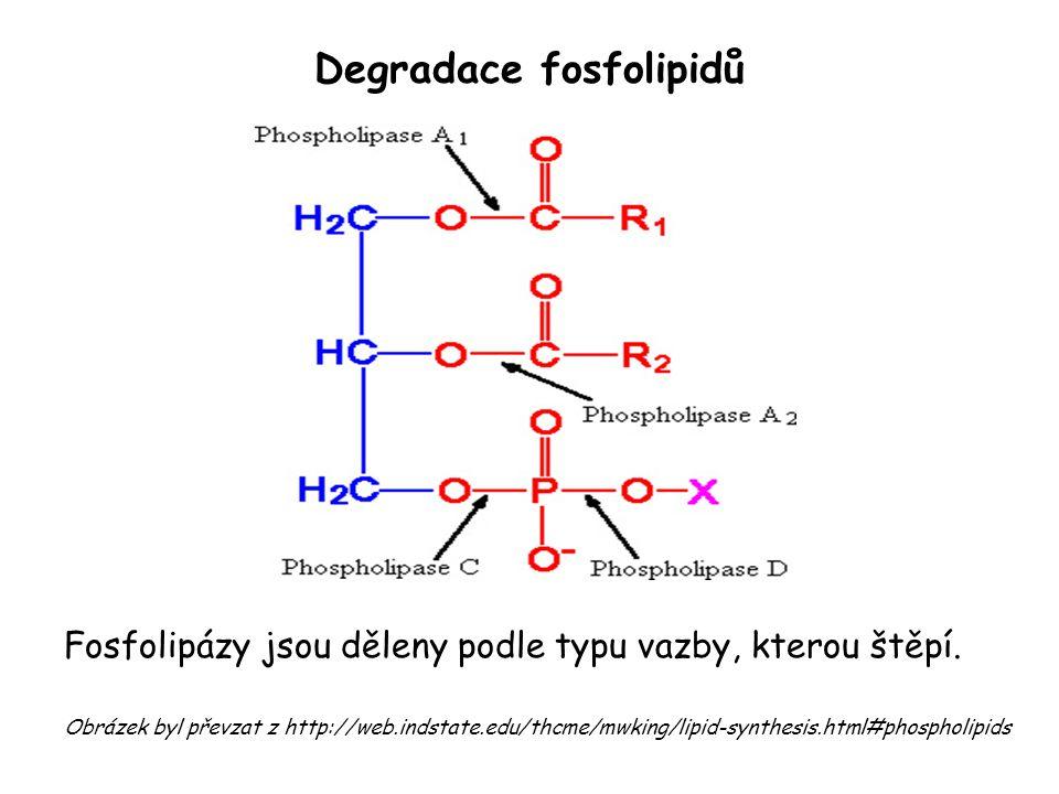 Degradace fosfolipidů Fosfolipázy jsou děleny podle typu vazby, kterou štěpí. Obrázek byl převzat z http://web.indstate.edu/thcme/mwking/lipid-synthes