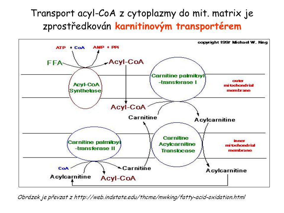 β-oxidace mastných kyselin substrát: acyl-CoA produkt: n acetyl-CoA, n NADH + H +, n FADH 2 funkce: zisk energie z mastných kyselin subcelulární lokalizace: matrix mitochondrie orgánová lokalizace: nejvíce játra a sval, kromě CNS i ostatní tkáně regulační enzym: karnitinacyltransferáza I