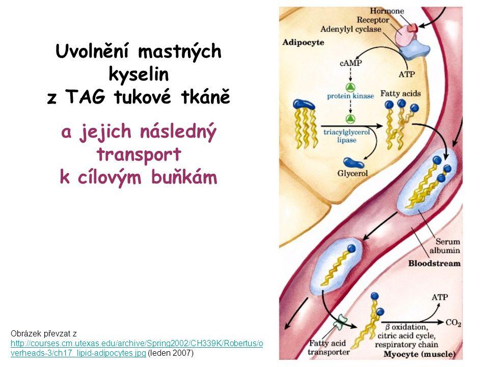 Obrázek převzat z http://courses.cm.utexas.edu/archive/Spring2002/CH339K/Robertus/o verheads-3/ch17_lipid-adipocytes.jpg (leden 2007) http://courses.c
