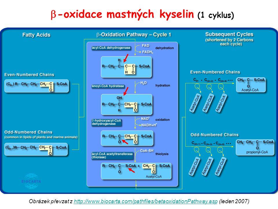 Obrázek převzat z http://www.biocarta.com/pathfiles/betaoxidationPathway.asp (leden 2007)http://www.biocarta.com/pathfiles/betaoxidationPathway.asp 