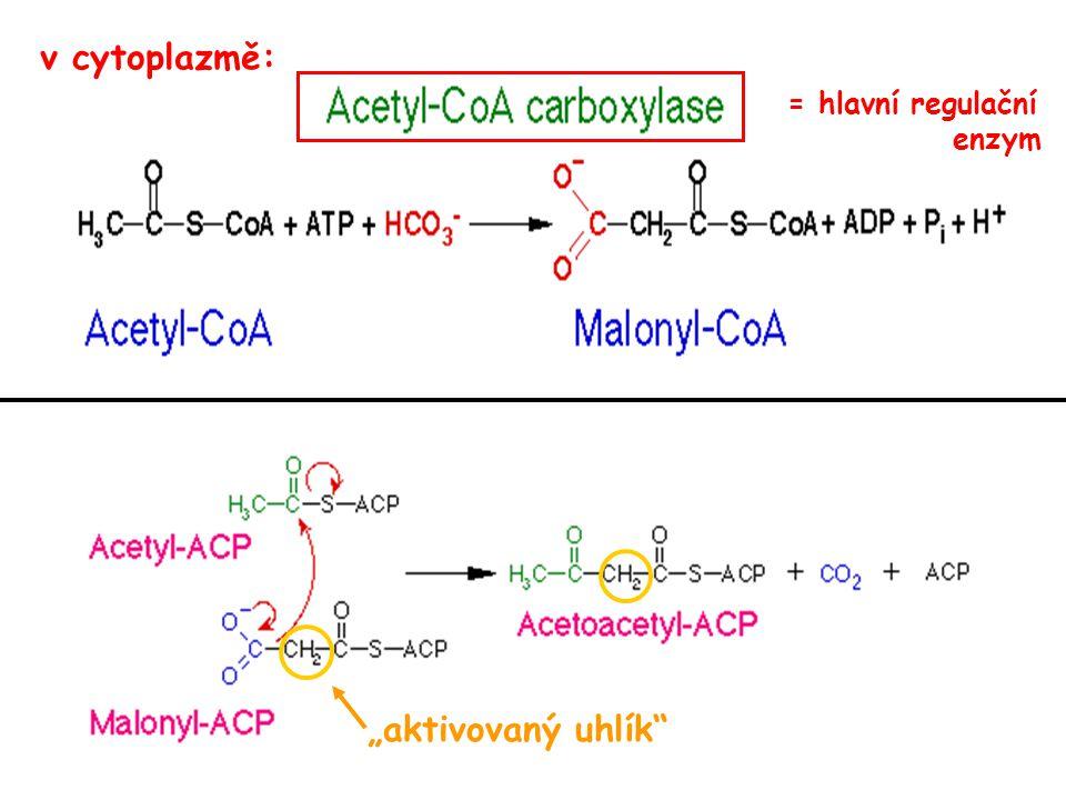 """""""aktivovaný uhlík"""" v cytoplazmě: = hlavní regulační enzym"""