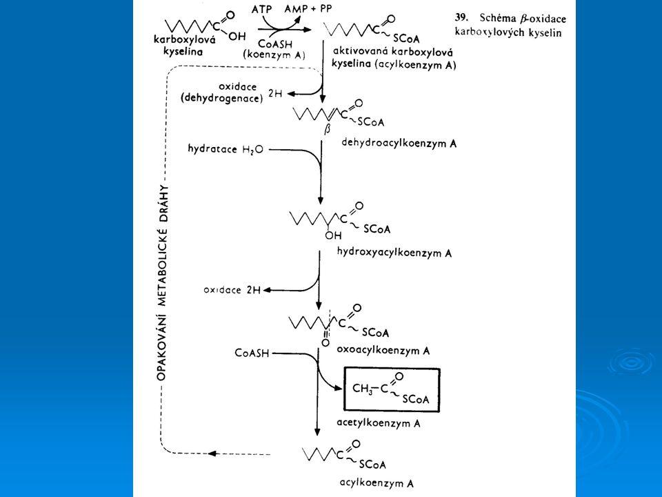  Produktem  -oxidace jsou acetylkoenzym A, NADH+H +, FADH 2  Acetylkoenzym A vstupuje do Krebsova cyklu  Redukované koenzymy přenáší vodík do dýchacího řetězce
