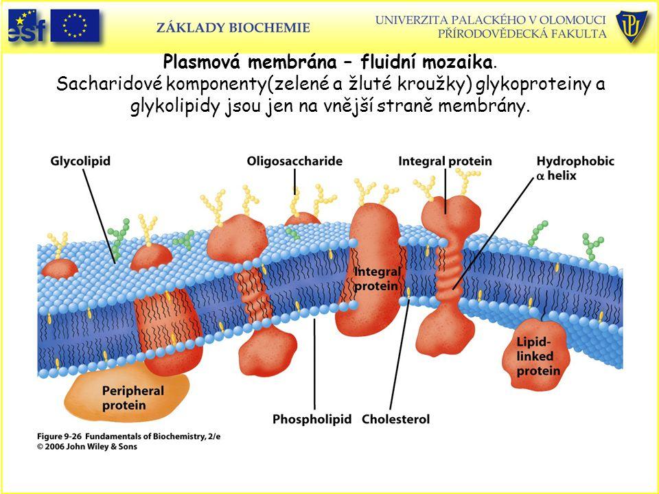 Plasmová membrána – fluidní mozaika. Sacharidové komponenty(zelené a žluté kroužky) glykoproteiny a glykolipidy jsou jen na vnější straně membrány.