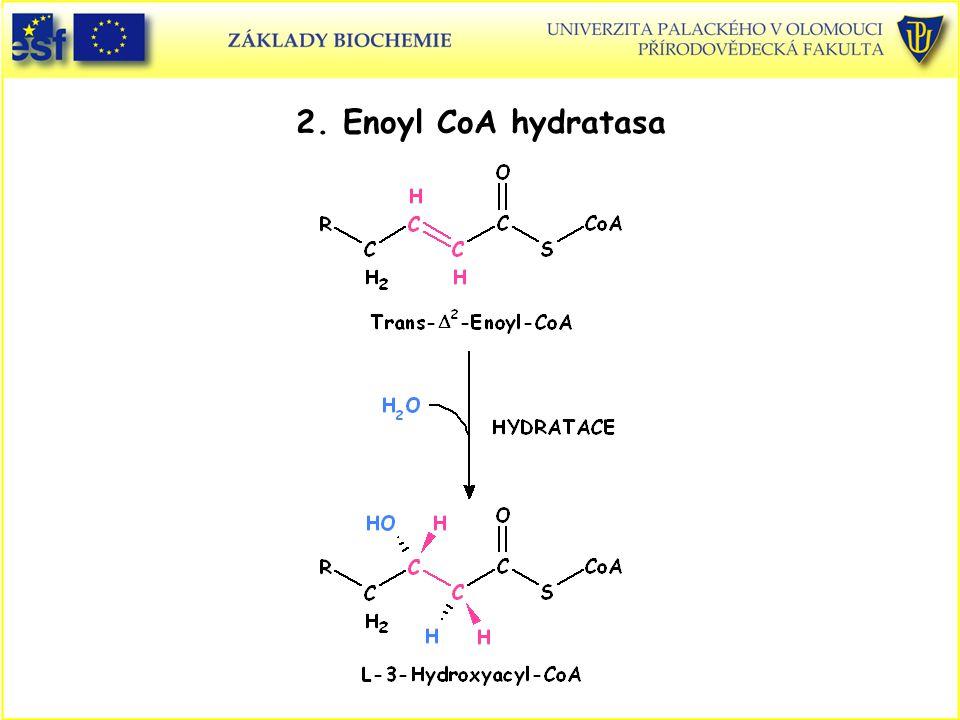 2. Enoyl CoA hydratasa