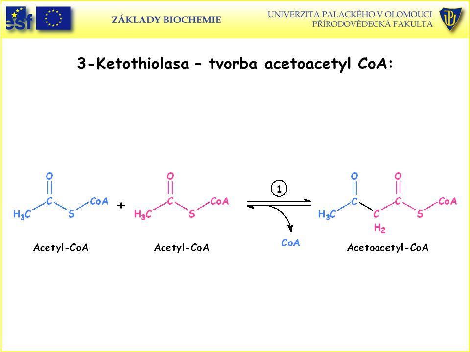 3-Ketothiolasa – tvorba acetoacetyl CoA: