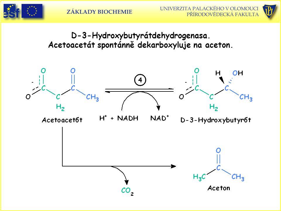 D-3-Hydroxybutyrátdehydrogenasa. Acetoacetát spontánně dekarboxyluje na aceton.