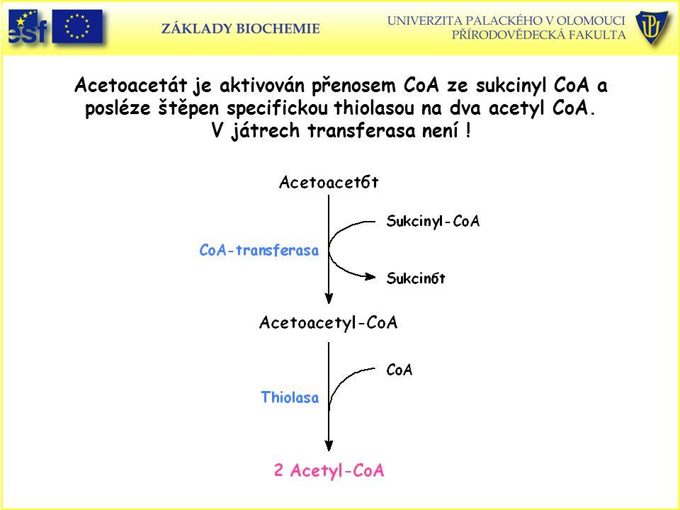 Acetoacetát je aktivován přenosem CoA ze sukcinyl CoA a posléze štěpen specifickou thiolasou na dva acetyl CoA. V játrech transferasa není !