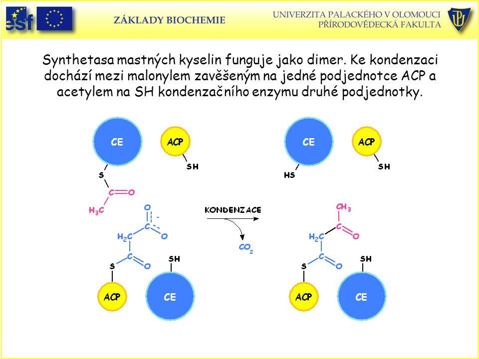 Synthetasa mastných kyselin funguje jako dimer. Ke kondenzaci dochází mezi malonylem zavěšeným na jedné podjednotce ACP a acetylem na SH kondenzačního