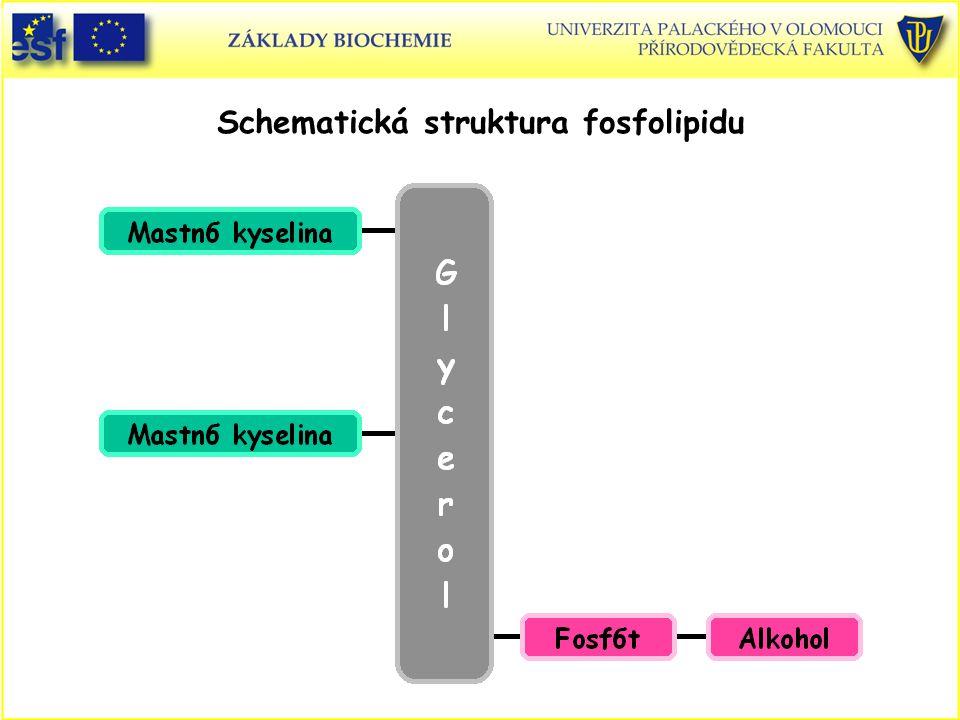 Schematická struktura fosfolipidu