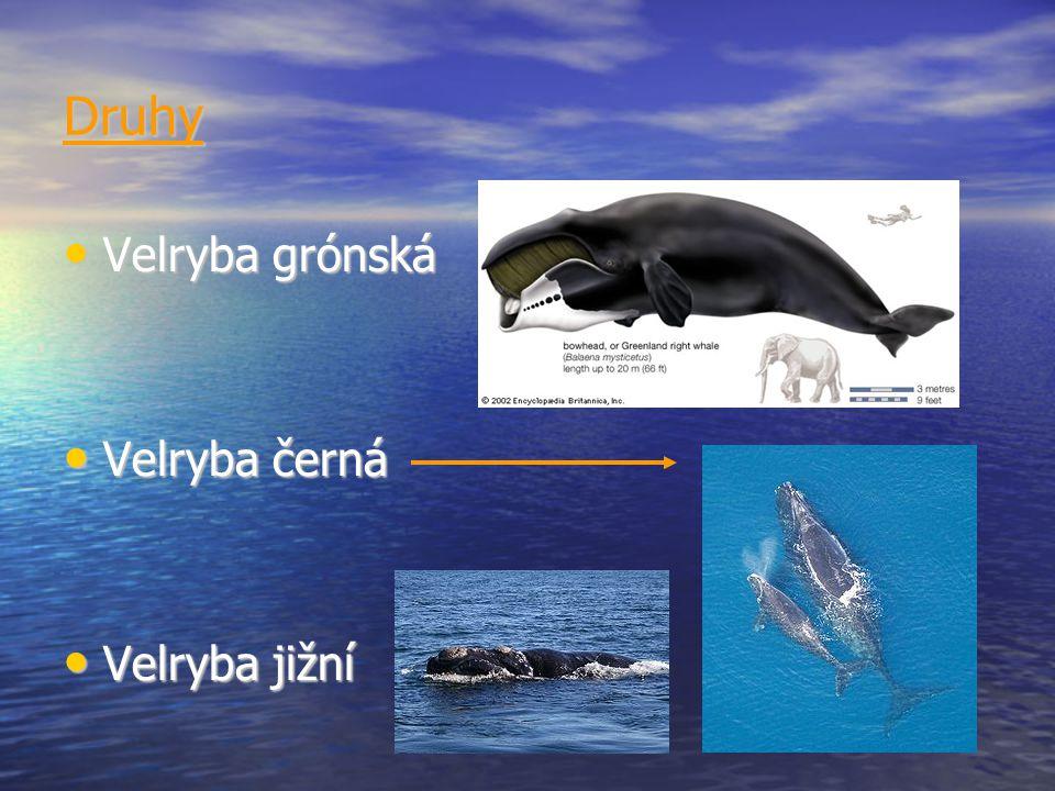 Druhy Velryba grónská Velryba grónská Velryba černá Velryba černá Velryba jižní Velryba jižní