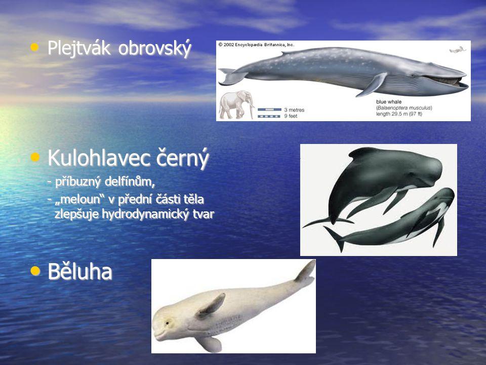"""Plejtvák obrovský Plejtvák obrovský Kulohlavec černý Kulohlavec černý - příbuzný delfínům, - """"meloun v přední části těla zlepšuje hydrodynamický tvar Běluha Běluha"""