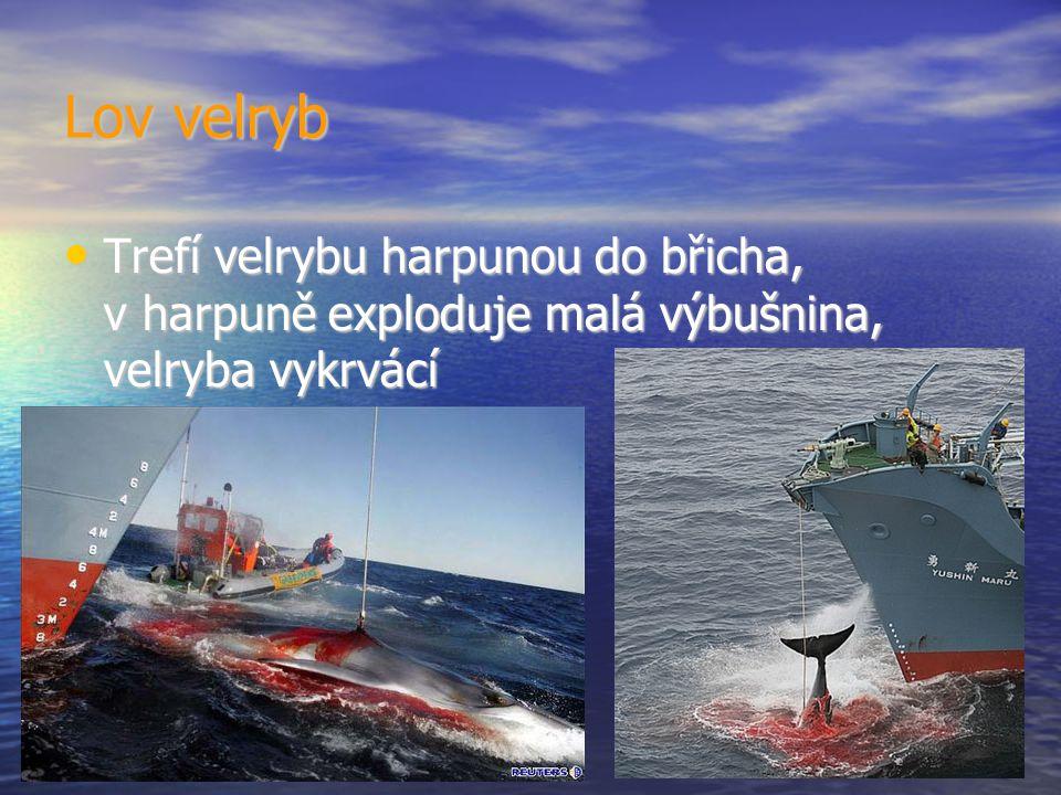 Lov velryb Trefí velrybu harpunou do břicha, v harpuně exploduje malá výbušnina, velryba vykrvácí Trefí velrybu harpunou do břicha, v harpuně exploduje malá výbušnina, velryba vykrvácí