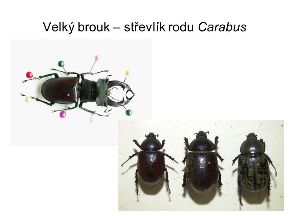 Velký brouk – střevlík rodu Carabus