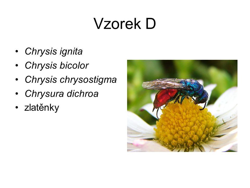 Vzorek D Chrysis ignita Chrysis bicolor Chrysis chrysostigma Chrysura dichroa zlatěnky