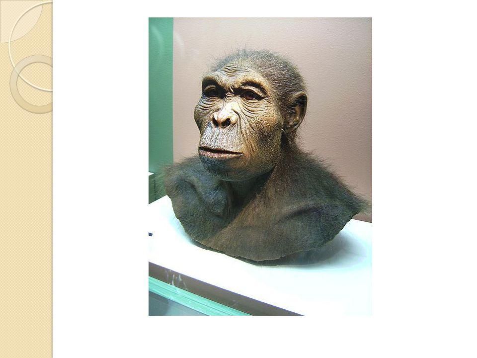 Člověk vzpřímený Před 2 miliony let Afrika, Asie, Evropa Výrazné nadočnicové oblouky Větší mozkovna Pěstní klín Oheň Lov malých zvířat, sběr plodin Stěhování