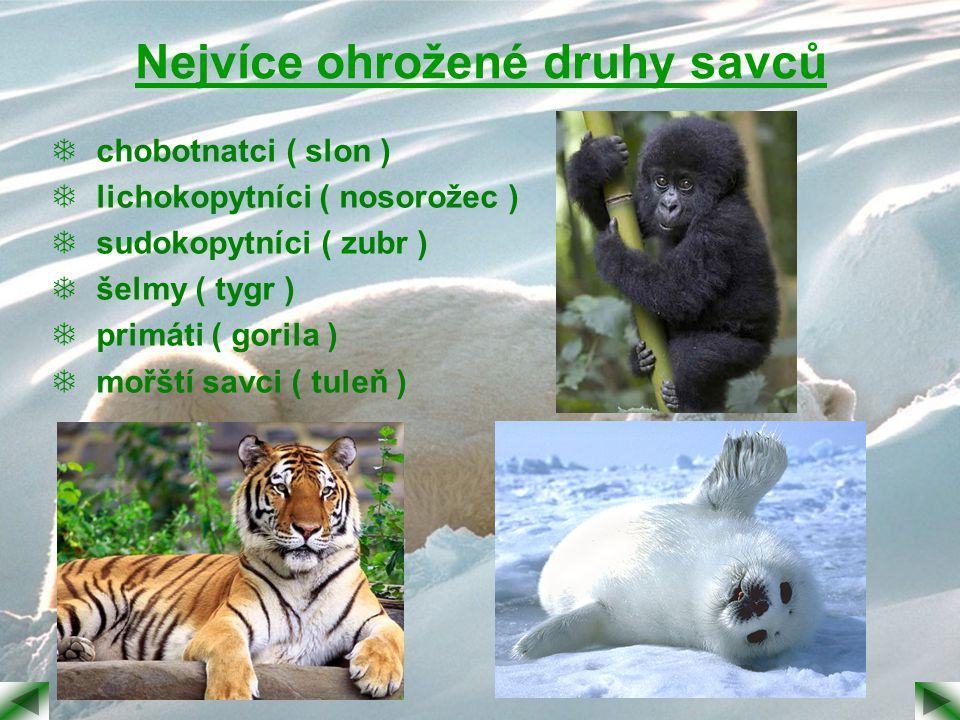 Nejvíce ohrožené druhy savců  chobotnatci ( slon )  lichokopytníci ( nosorožec )  sudokopytníci ( zubr )  šelmy ( tygr )  primáti ( gorila )  mo