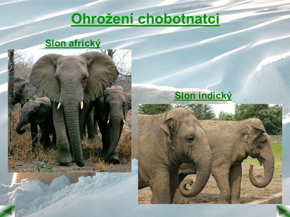 Ohrožení chobotnatci Slon africký Slon indický