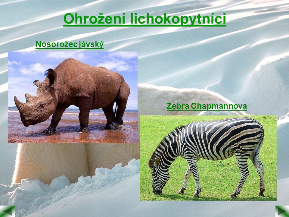 Ohrožení lichokopytníci Nosorožec jávský Zebra Chapmannova