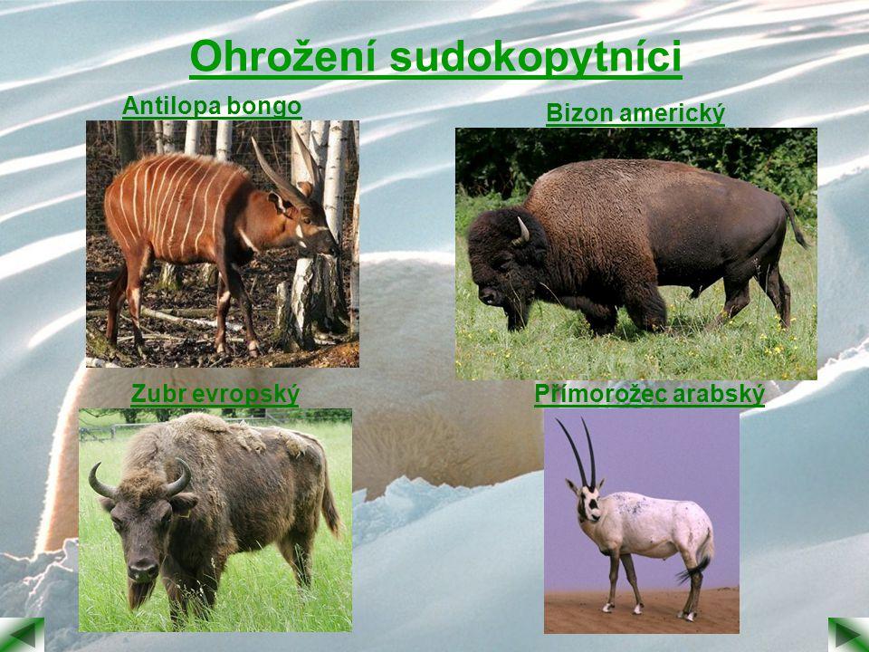 Ohrožení sudokopytníci Antilopa bongo Bizon americký Zubr evropskýPřímorožec arabský