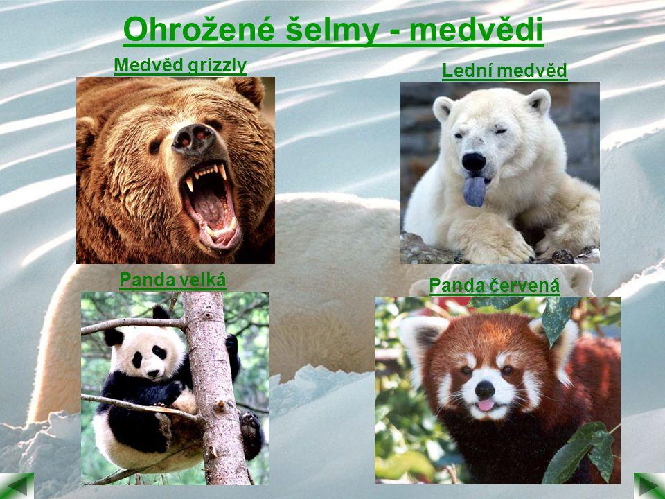 Ohrožené šelmy - medvědi Medvěd grizzly Lední medvěd Panda velká Panda červená