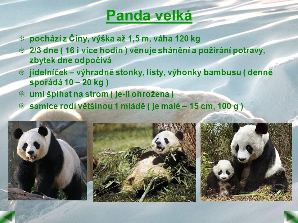 Panda velká  pochází z Číny, výška až 1,5 m, váha 120 kg  2/3 dne ( 16 i více hodin ) věnuje shánění a požírání potravy, zbytek dne odpočívá  jídel