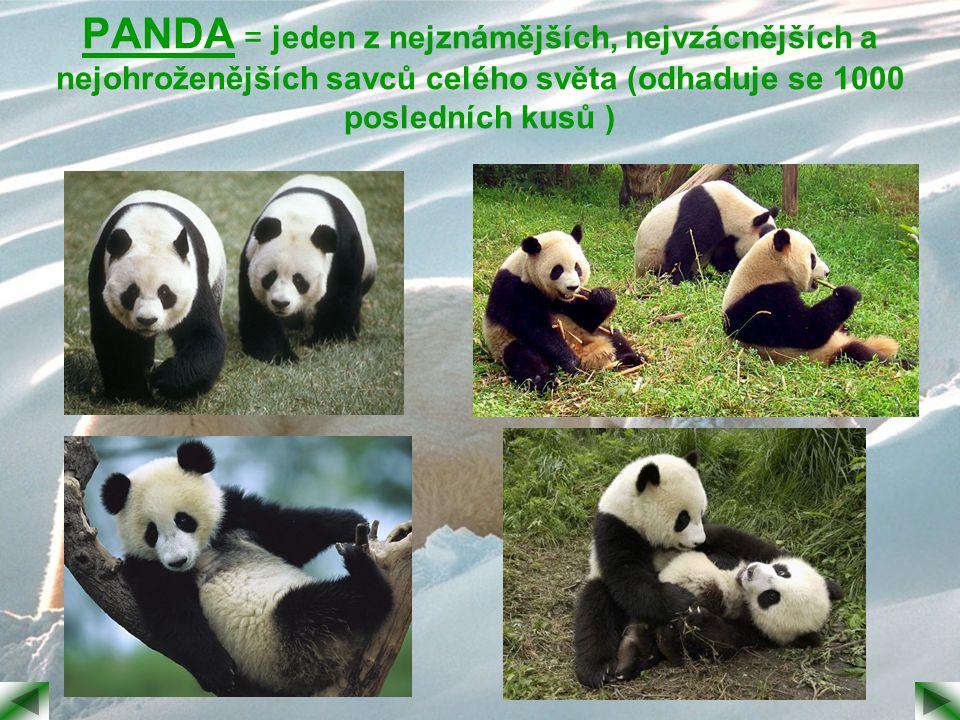 PANDA = jeden z nejznámějších, nejvzácnějších a nejohroženějších savců celého světa (odhaduje se 1000 posledních kusů )
