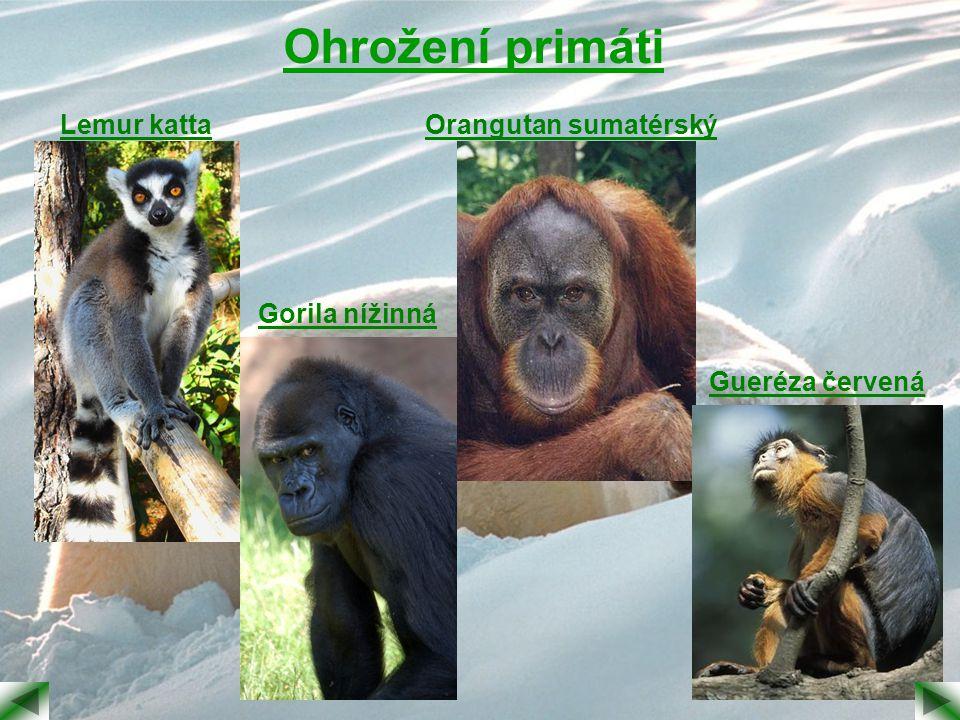 Ohrožení primáti Lemur katta Gorila nížinná Orangutan sumatérský Gueréza červená
