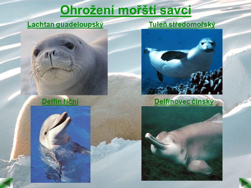 Ohrožení mořští savci Lachtan guadeloupskýTuleň středomořský Delfín říčníDelfínovec čínský