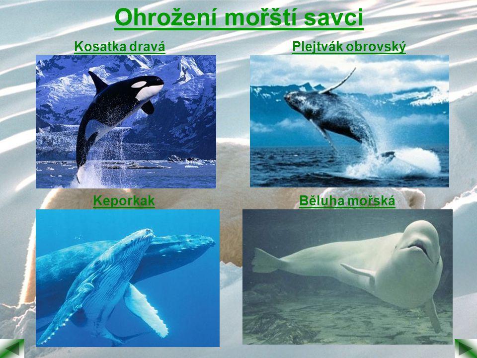 Ohrožení mořští savci Kosatka draváPlejtvák obrovský KeporkakBěluha mořská