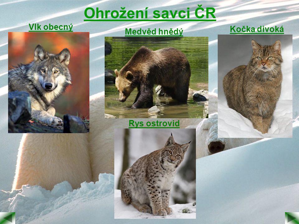 Ohrožení savci ČR Vlk obecný Medvěd hnědý Kočka divoká Rys ostrovid