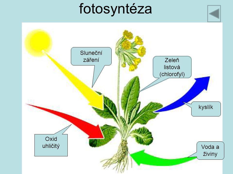 fotosyntéza Oxid uhličitý Voda a živiny kyslík Sluneční záření Zeleň listová (chlorofyl)