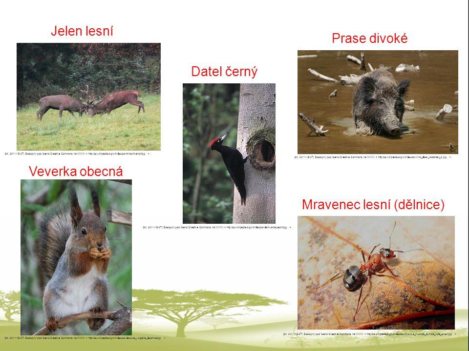 Jelen lesní: Rozšířený po celé Evropě, statné tělo, samci mají mohutné paroží, býložravec živící se bylinami, v minulosti oblíbenou lovnou zvěří, dnes je lov omezen a jejich počet se zvyšuje.
