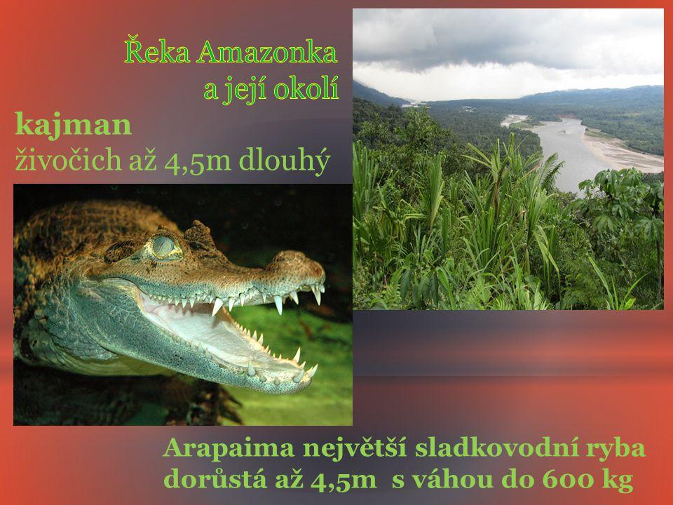 Arapaima největší sladkovodní ryba dorůstá až 4,5m s váhou do 600 kg