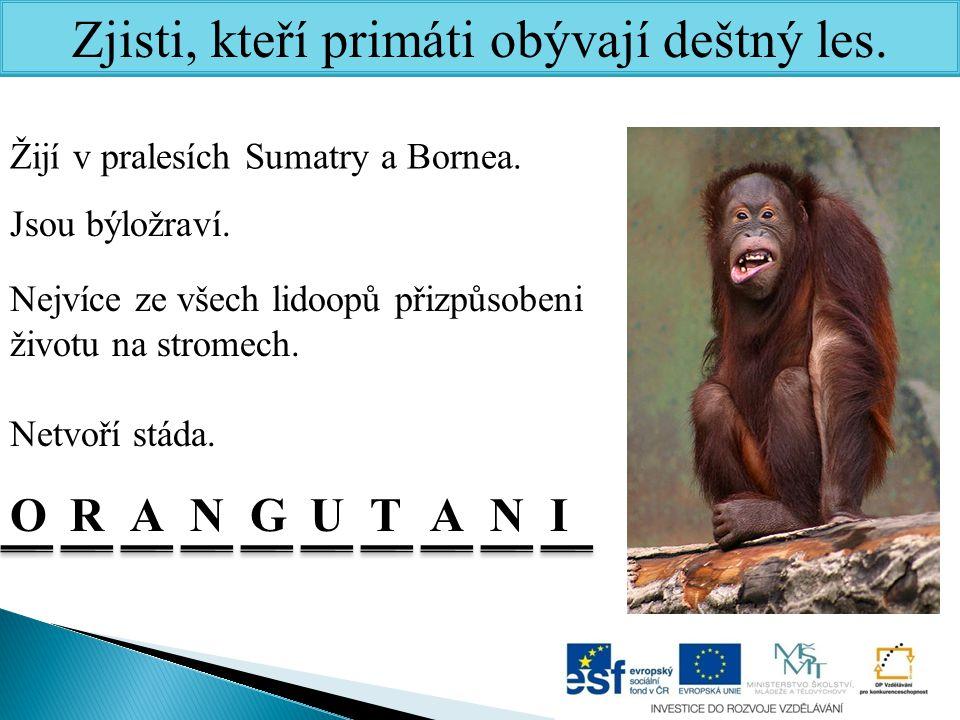 Zjisti, kteří primáti obývají deštný les.ONRAGATUNI Žijí v pralesích Sumatry a Bornea.