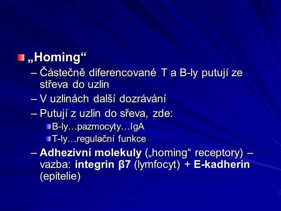 """""""Homing"""" –Částečně diferencované T a B-ly putují ze střeva do uzlin –V uzlinách další dozrávání –Putují z uzlin do sřeva, zde: B-ly…pazmocyty…IgA T-ly"""