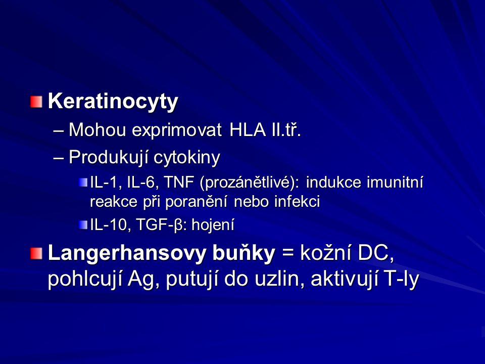 Keratinocyty –Mohou exprimovat HLA II.tř. –Produkují cytokiny IL-1, IL-6, TNF (prozánětlivé): indukce imunitní reakce při poranění nebo infekci IL-10,