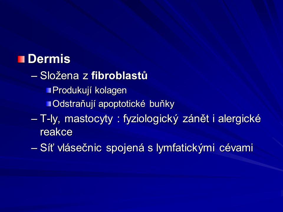 Dermis –Složena z fibroblastů Produkují kolagen Odstraňují apoptotické buňky –T-ly, mastocyty : fyziologický zánět i alergické reakce –Síť vlásečnic s