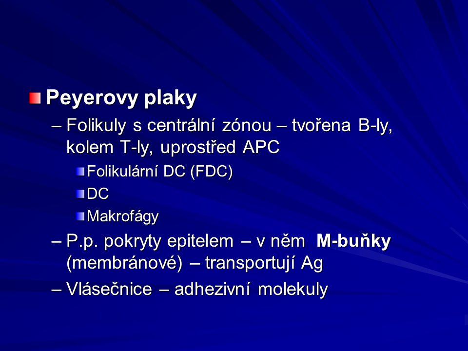Peyerovy plaky –Folikuly s centrální zónou – tvořena B-ly, kolem T-ly, uprostřed APC Folikulární DC (FDC) DCMakrofágy –P.p. pokryty epitelem – v něm M