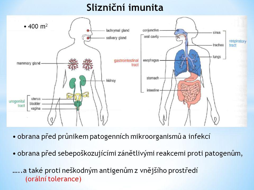 Slizniční imunita obrana před průnikem patogenních mikroorganismů a infekcí obrana před sebepoškozujícími zánětlivými reakcemi proti patogenům, …..a také proti neškodným antigenům z vnějšího prostředí (orální tolerance) 400 m 2