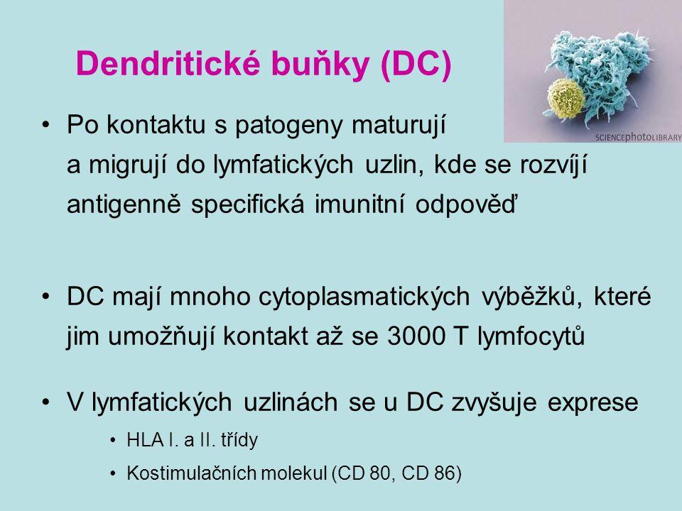 Dendritické buňky (DC) Po kontaktu s patogeny maturuj í a migruj í do lymfatických uzlin, kde se rozv í j í antigenně specifick á imunitn í odpověď DC