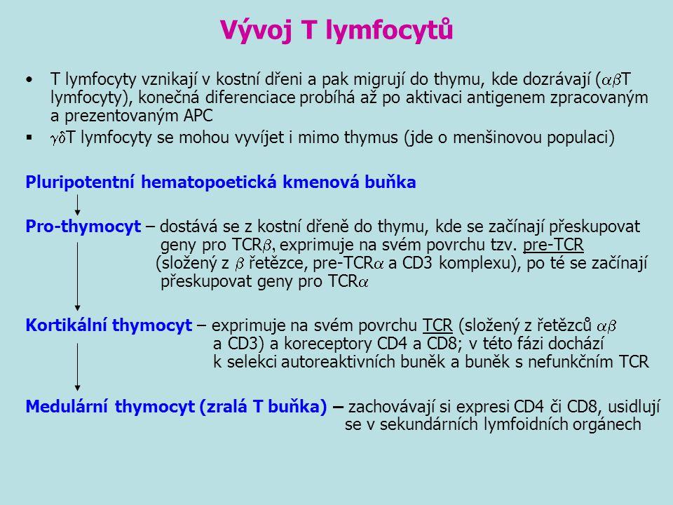 Vývoj T lymfocytů T lymfocyty vznikají v kostní dřeni a pak migrují do thymu, kde dozrávají (  T lymfocyty), konečná diferenciace probíhá až po akti
