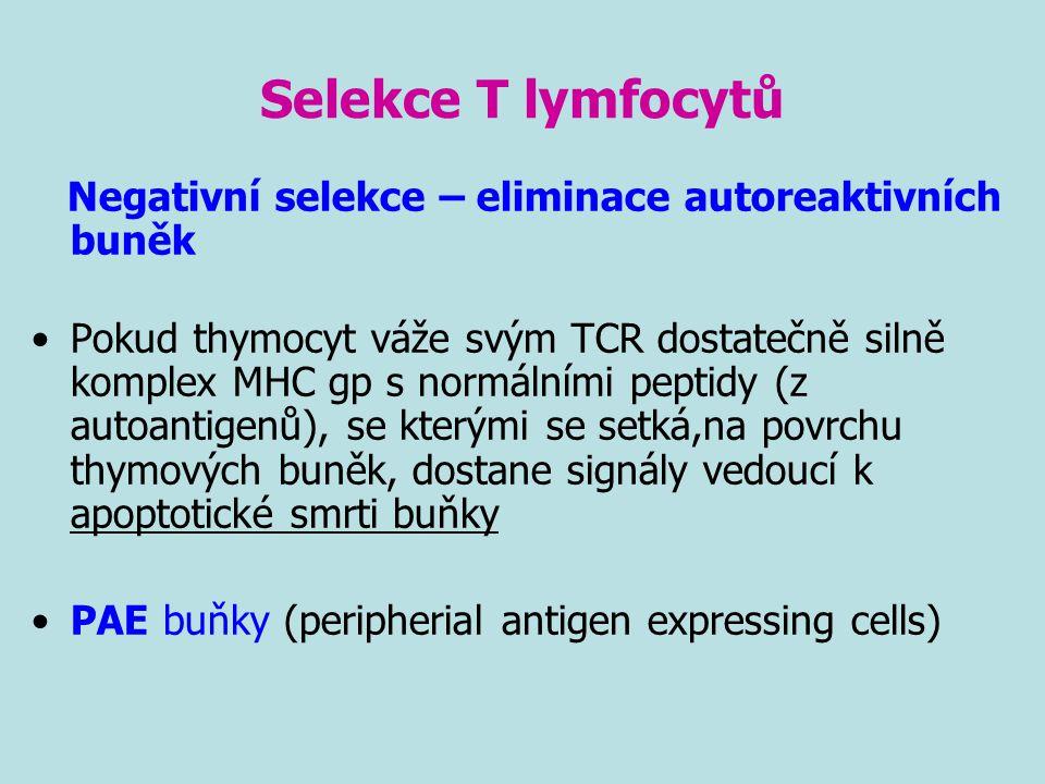 Selekce T lymfocytů Negativní selekce – eliminace autoreaktivních buněk Pokud thymocyt váže svým TCR dostatečně silně komplex MHC gp s normálními pept