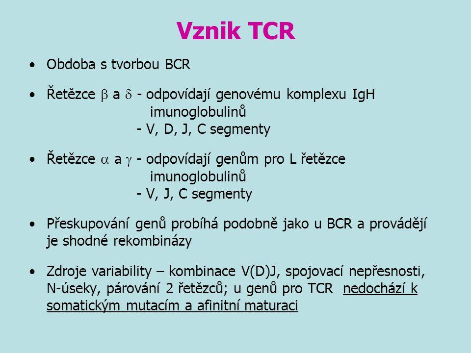 Vznik TCR Obdoba s tvorbou BCR Řetězce  a  - odpovídají genovému komplexu IgH imunoglobulinů - V, D, J, C segmenty Řetězce  a  - odpovídají genům