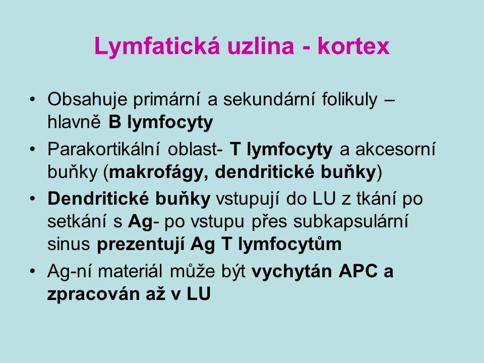 Lymfatická uzlina - kortex Obsahuje primární a sekundární folikuly – hlavně B lymfocyty Parakortikální oblast- T lymfocyty a akcesorní buňky (makrofág