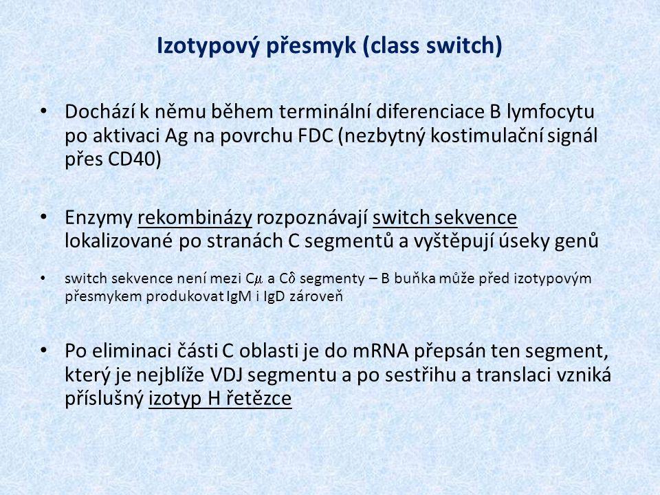 Izotypový přesmyk (class switch) Dochází k němu během terminální diferenciace B lymfocytu po aktivaci Ag na povrchu FDC (nezbytný kostimulační signál