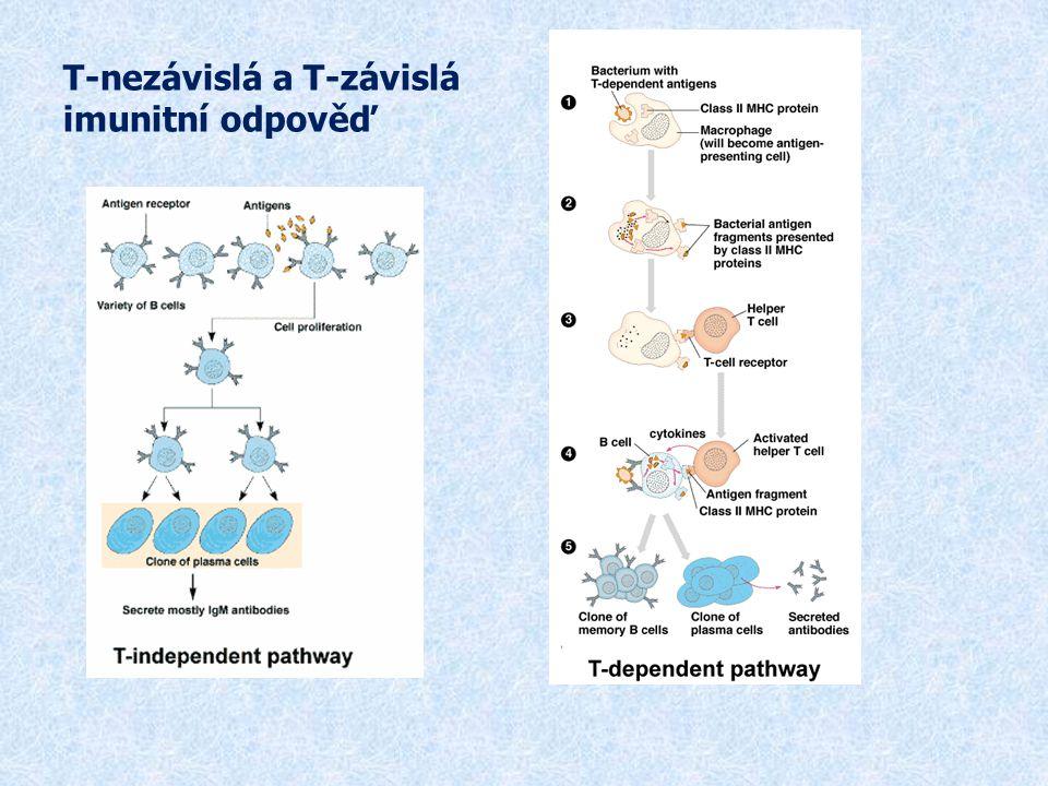 Protilátková reakce vyvolaná antigeny závislými na T lymfocytech  Primární fáze protilátkové reakce  Probíhá v sekundárních lymfatických orgánech  Stimulace B lymfocytu vazbou Ag na BCR  Pohlcení Ag APC a jeho prezentace prostřednictvím MHC gp II prekurzorům T H buněk → vznik klonu antigenně specifických T H 2 buněk, které poskytují pomoc příslušným B lymfocytům, což vede k jejich proliferaci, diferenciaci na plazmatické bb (produkují Ab) a na paměťové bb