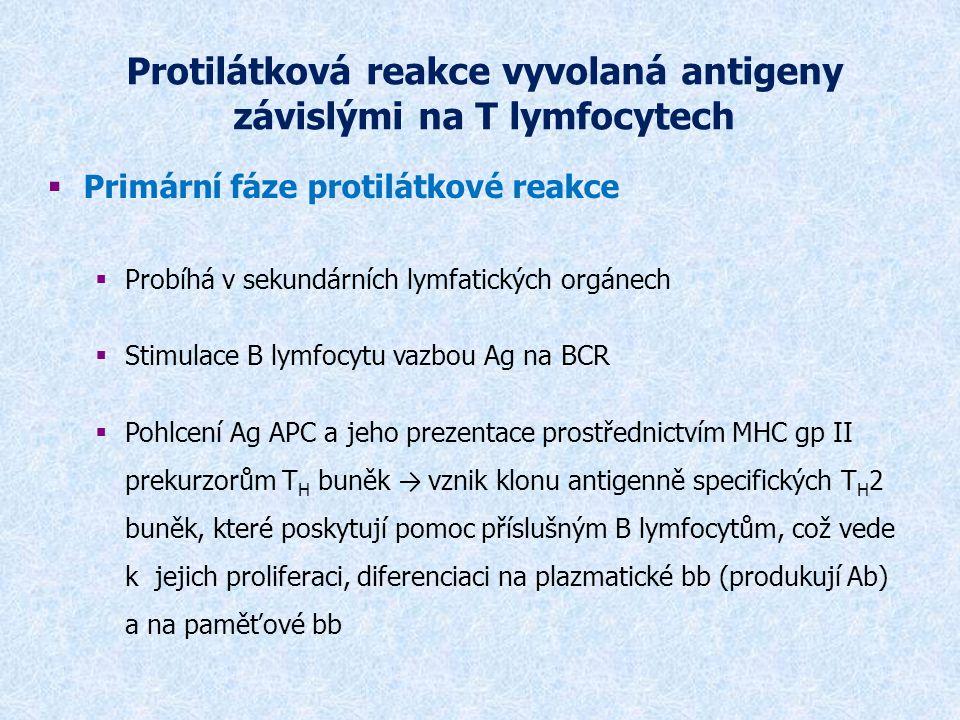 Primární fáze protilátkové reakce  Plazmatické bb jsou rozneseny oběhovým systémem do organismu (zvláště kostní dřeně)  Protilátky produkované v primární fázi (za 3-4 dny) jsou IgM a mají nízkou afinitu k Ag, s Ag tvoří imunokomplexy  Imunokomplexy jsou zachytávány v sekundárních lymfoidních orgánech na povrchu FDC (folikulárně dendritických bb) – bb prezentující Ag B lymfocytům