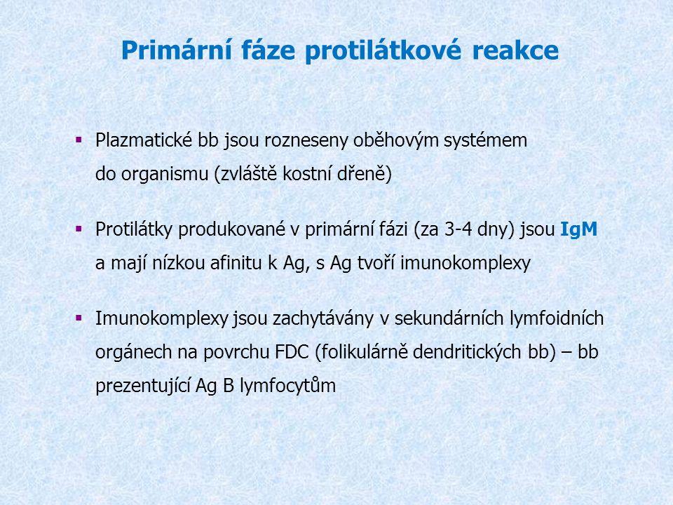 Primární fáze protilátkové reakce  Plazmatické bb jsou rozneseny oběhovým systémem do organismu (zvláště kostní dřeně)  Protilátky produkované v pri