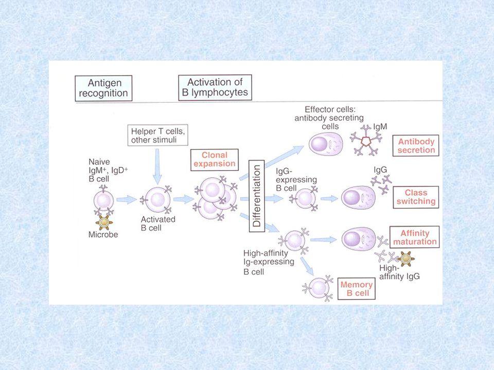 Protilátková odpověď Primární odpověď následuje po prvním kontaktu s antigenem, kdy ještě nejsou přítomny paměťové buňky tvoří se převážně nízkoafinní IgM, postupně se tvoří ostatní izotypy s vyšší afinitou